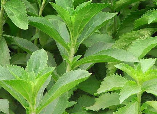 Stevia- słodki cud