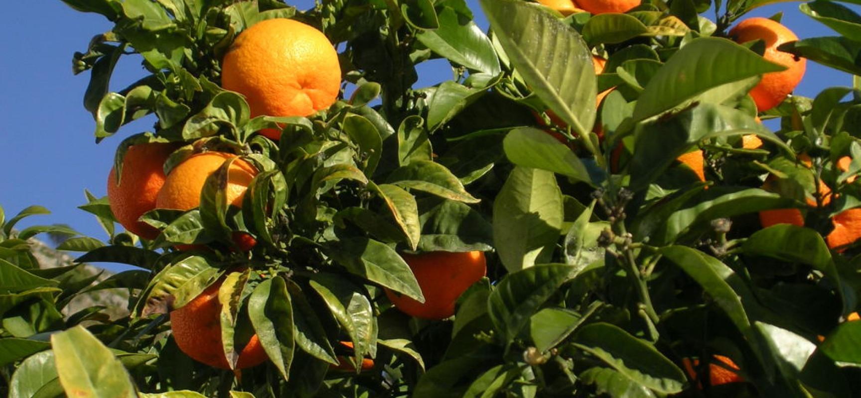 Wyciąg z gorzkiej pomarańczy – HIT w walce z otyłością